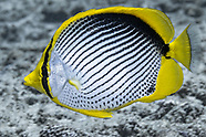 Blackback butterflyfish (Chaetodon melannotus)