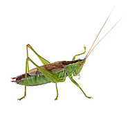 Short-winged Conehead - Conocephalus dorsalis