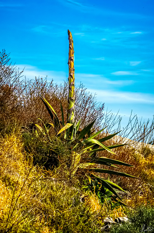 A Century Plant sending up a shoot, to eventually blossom.