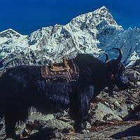 A yak stands below Nuptse peak in the Khumbu region of Nepal's Himalaya.