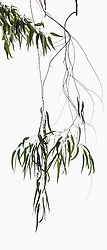 Eucalyptus camaldulensis #12
