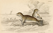 'Common Seal - Phoca vitulina: aquatic carnivorous mammal.  Hand-coloured engraving from ''A History of British Quadrupeds'', Edinburgh, 1838.'
