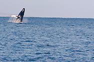 Humpback Whale Breaching 1 of 9