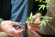 A farmer trims medicianl marijuana plants for cloning.