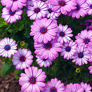 Small purple flowers named Osteospermum. Photo by Adel B. Korkor.