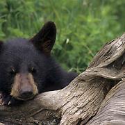 Black Bear, (Ursus americanus) Montana. Cub sleeping. Bridger Mountain Range. Captive Animal.