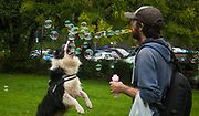 Sheep dog leaps for bubbles blown by owner, Glasgow, Scotland
