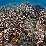 The corals living in the shallow waters around Fantasy Island in the Patch Reefs of Palau were devastated by a massive crown of thorns attack following extensive bleaching damage caused by El Niño in 1998. This photograph was taken in 2011, just 13 years after the corals here were wiped out.