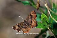 03263-00119 Fatal Metalmark butterfly (Calephelis nemesis) Santa Ana National Wildlife Refuge, Hidalgo Co.  TX