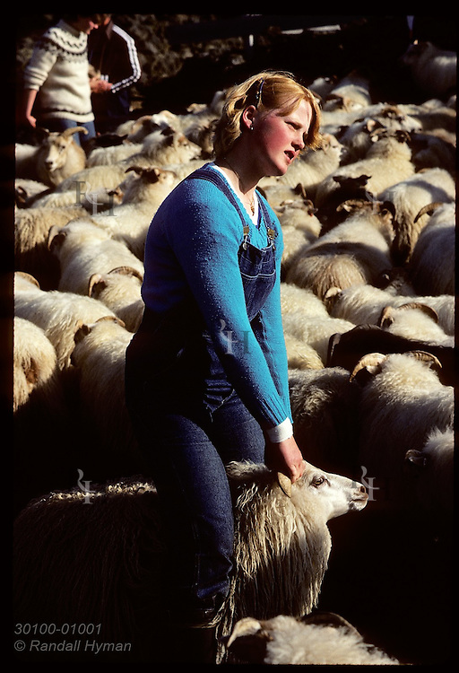Strawberry-blond farm girl pulls sheep by horns to family pen in round-up corral; Adaldalur * Iceland