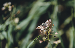THEMENBILD - ein Schachbrettfalter (Melanargia galathea) auf einem Grashalm, aufgenommen am 30. April 2020, Kaprun, Österreich // a checkerboard butterfly (Melanargia galathea) on a blade of grass on 2020/04/30, Kaprun, Austria. EXPA Pictures © 2020, PhotoCredit: EXPA/ Stefanie Oberhauser