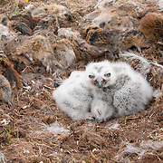 Snowy Owl (Bubo scandiacus) chicks in a nest surrounded by nearly 30 dead brown lemmings. North slope of the Brooks Range, Alaska