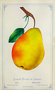 Louise Bonne of Jersey pear from Dewey's Pocket Series ' The nurseryman's pocket specimen book : colored from nature : fruits, flowers, ornamental trees, shrubs, roses, &c by Dewey, D. M. (Dellon Marcus), 1819-1889, publisher; Mason, S.F Published in Rochester, NY by D.M. Dewey in 1872