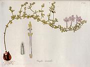 Wood-Sorrel (Oxalis hirta var. secunda) Illustration from 'Oxalis Monographia iconibus illustrata' by Nikolaus Joseph Jacquin (1797-1798). published 1794