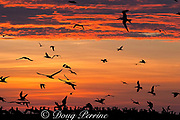 crested terns, ( Sterna bergii or Thalasseus bergii ) and brown boobies, Sula leucogaster, coming in to roost at sunset, Turu Cay, Torres Straits, Queensland, Australia