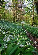 Wild garlic lining a woodland path, allium oleraceum, Devon, U.K.