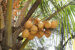 Fresh coconuts hanging on palm tree, Tangalle, South Province, Sri Lanka