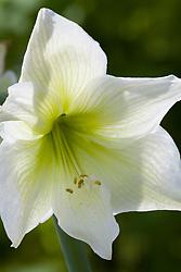 Amaryllis 'Green Goddess'