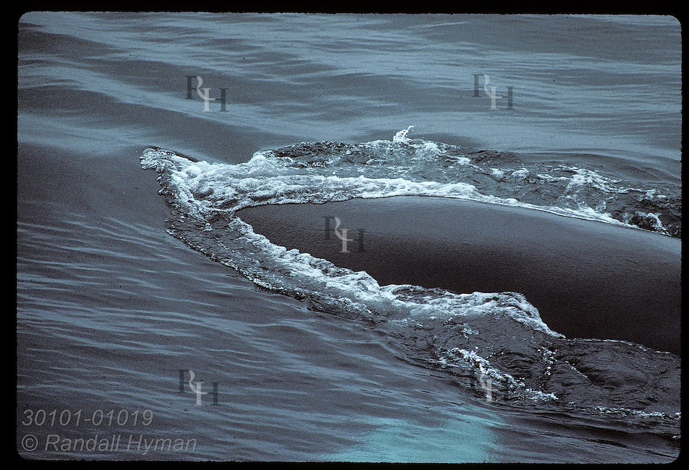 Humpback whale's broad back plows through water on a July eve west of the West Fjords. Iceland