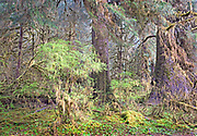 Early Spring in the Hoh Rainforest, Olympic National Park, Washington State