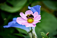 Bee in a Pink Cosmos Flower. Autumn Backyard Nature in New Jersey. Image taken with a Fuji X-T2 camera and 100-400 mm OIS telephoto zoom lens (ISO 200, 400 mm, f/5.6, 1/120 sec).