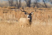 Trophy mule deer buck during fall rut