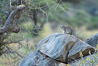 Yellow-spotted Rock Hyrax, Heterohyrax brucei, sits on a rock in Serengeti National Park, Tanzania