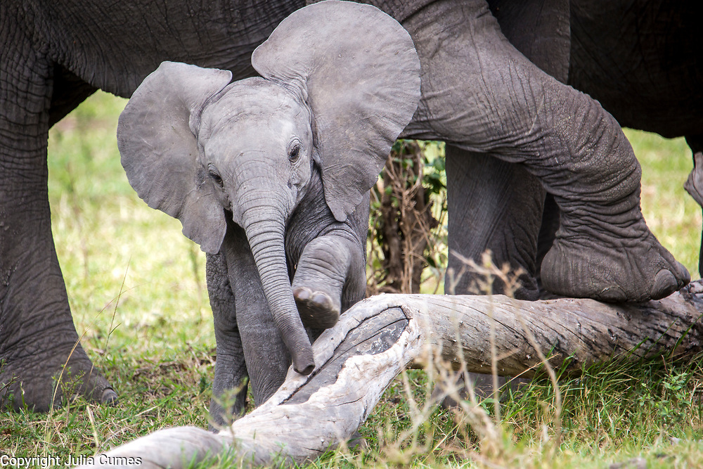 A young elephant calf tries to step over a large log while its mother patiently waits nearby  in Kenya's Masai Mara National Park.