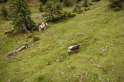 THEMENBILD - Kuehe auf einer Almweide am Hintersee, aufgenommen am 23. Juni 2019 in Mittersill, Österreich // Cows on a mountain pasture at the Hintersee, Mittersill, Austria on 2019/06/23. EXPA Pictures © 2019, PhotoCredit: EXPA/ JFK