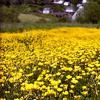 Fields of wild flowers, New Harbor Maine