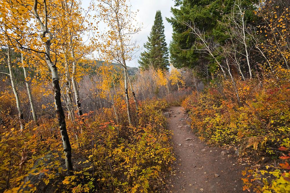 Fern Lake Trail winds through a golden aspen (Populus tremuloides) grove in Rocky Mountain National Park, Colorado.