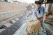 A worker at the Berber leather tannery in Fes El-Bali, Morocco, pulls sheep wool off skins coated with lime on October 31, 2007. Chemical lime reacts with the wool, making it easier to remove. The wool is washed in the drainage canal behind the tannery.