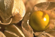 Close up selective focus photograph of a few Cape Gooseberries