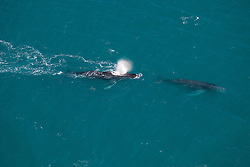 A pair of Humpback whales off Talboy's Rock north of Broome.