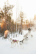 Husky sleigh driver, Norrbotten, Sweden, Lapland.