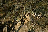 A female Leopard sitting in the bush in the Masai Mara National Park, Kenya