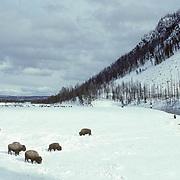 Bison, (Bison bison) Herd feeding in snow coverd Madison Valley. Winter. Yellowstone National Park.