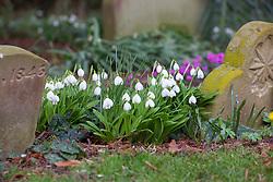 Galanthus plicatus 'Augustus' growing amongst gravestones. Snowdrop.