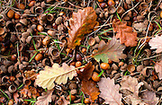Oak leaves and acorns during autumn in England
