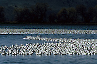 Flock of Snow (Chen caerulescens) and Ross's geese (Chen rossii).  Klamath Basin, CA.  Mar 04.