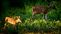 Spotted Fawn Walking Into the Sun. The Doe is still wary with her new child and stays more than 150 feet from the house. Image taken with a Nikon D3x camera and 600 mm f/4 VR lens (ISO 500, 600 mm, f/4, 1/640 sec).