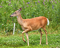 Doe with horseflies. Image taken with a Leica CL camera and 90-280 mm lens.