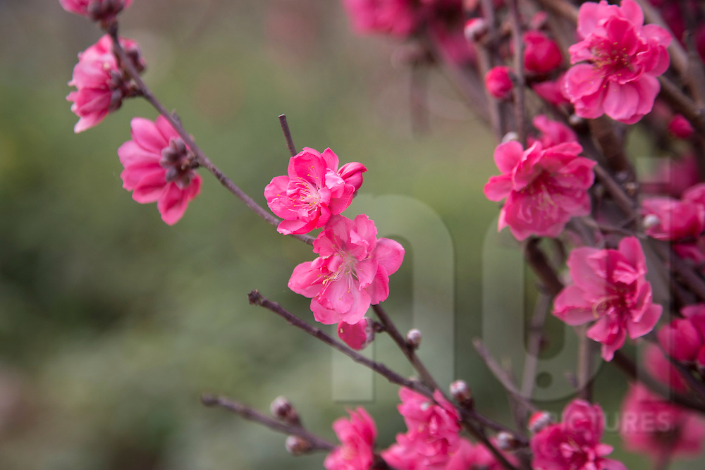Bright pink blossoms of peach trees in the Tet Garderns of Tay Ho, Hanoi, Vietnam, Southeast Asia