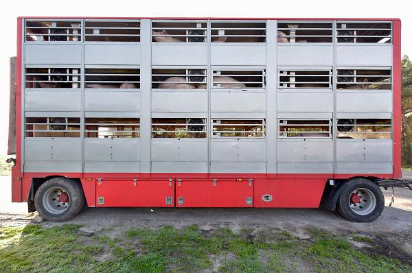Nederland, Beringe, 17-4-2018Langs een doodlopende weg in Noord Limburg staat een aanhanger met varkens geparkeerd. Hij is weggezet door een transporteur om later weer opgehaald te worden om verder vervoerd te rijden naar zijn eindbestemming, het slachthuis, slachterij.Foto: Flip Franssen