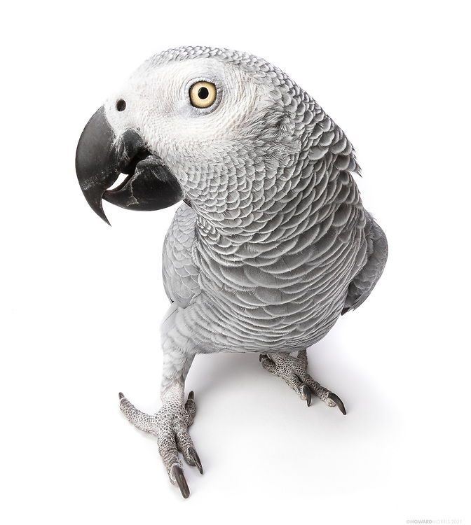 Congo African Grey (Psittacus erithacus). A most dignified parrot with a dry sense of humor, Babu takes great pride in training humans to imitate his plethora of sounds. Santa Barbara Bird Sanctuary, California.