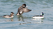 Bufflehead spending the winter on the Delaware coast, two females with male.