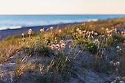 "The small pasque flowers (Pulsatilla pratensis) with fruits and occasional flower buds growing on coastal dunes in sunset, nature reserve ""Užava"" (dabas liegums ""Užava""), Kurzeme, Latvia Ⓒ Davis Ulands   davisulands.com"