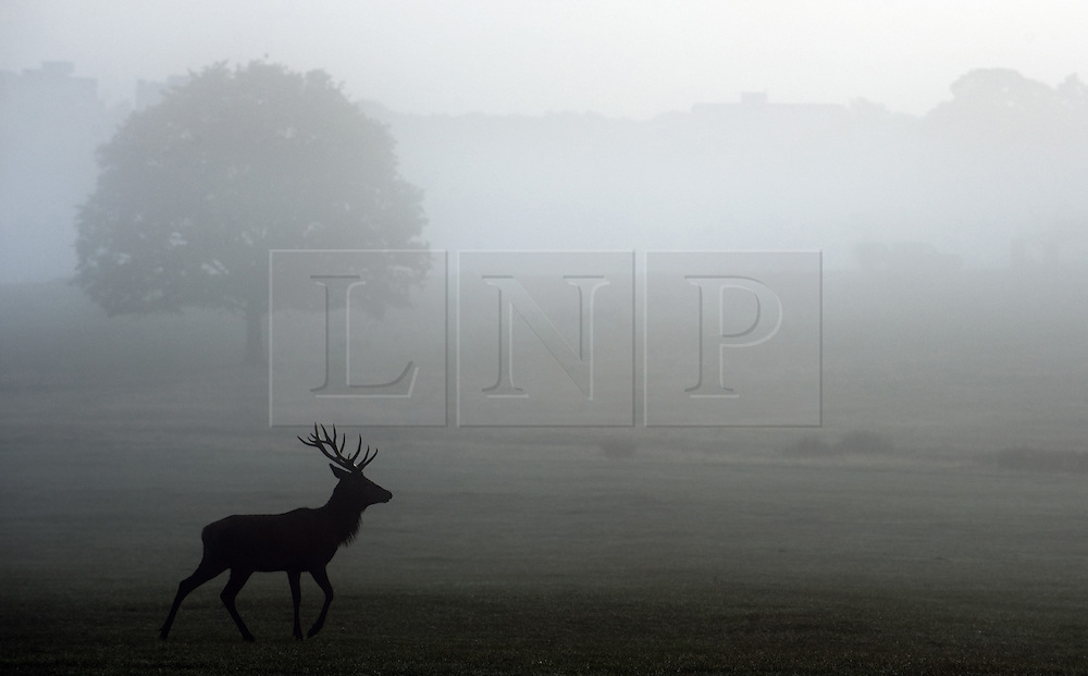 ©London News Pictures .LONDON - OCTOBER 2nd: A Red Deer stag walks through the early morning fog in Richmond Park on October 2nd, 2010 in London, England. Autumn sees the start of the 'Rutting' season where the large Red Deer stags can be heard roaring and barking in an attempt to attract females known as bucks. The larger males can also be seen clashing antlers with rival males.