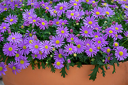 Brachyscome angustifolia 'Brasco Violet' in a terracotta pot. Swan river daisy, Rock daisy
