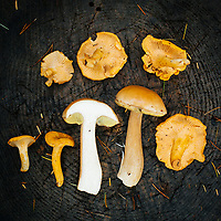 Portrait of wild mushrooms found in the forest along the Oregon Coast.